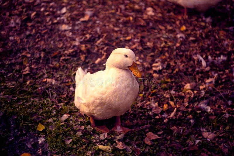 Pato blanco en la tierra imagenes de archivo
