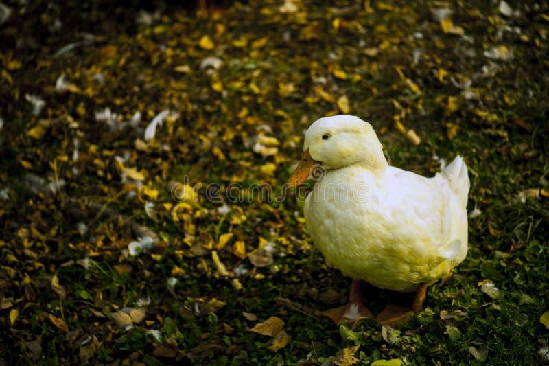 Pato blanco en la tierra foto de archivo libre de regalías
