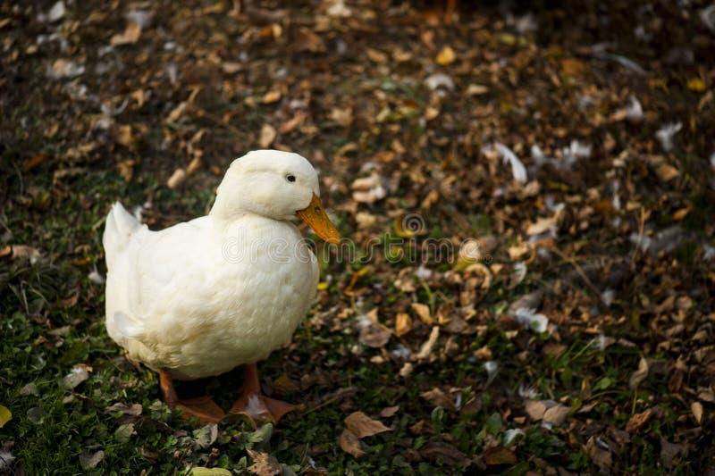 Pato blanco en la tierra imagen de archivo libre de regalías