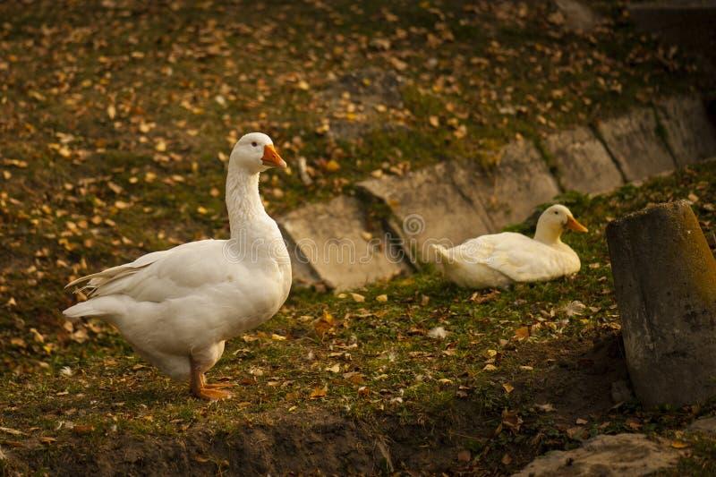 Pato blanco en la tierra fotografía de archivo