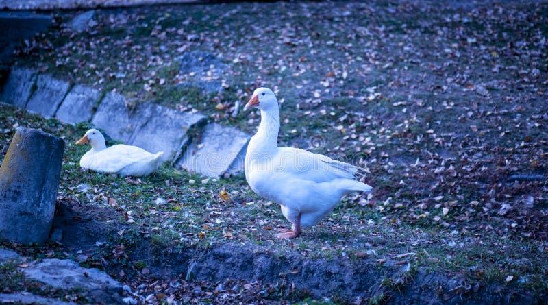 Pato blanco en la tierra foto de archivo