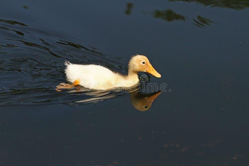 Pato blanco Pato lindo del bebé Patos blancos jovenes que nadan en el agua en el lago Nadada de los anadones en la charca Bebé de fotografía de archivo libre de regalías