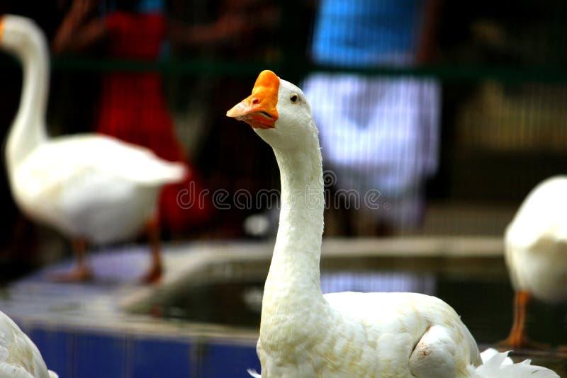 Pato blanco para el fondo fotos de archivo libres de regalías