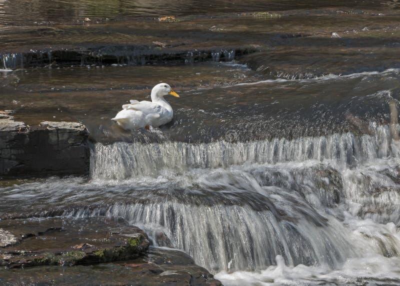 Pato branco, águas de pressa foto de stock