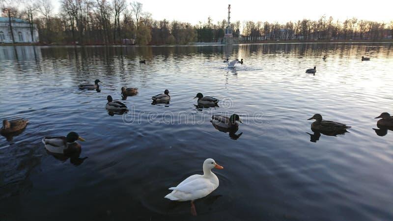 Pato branco delicioso incomum entre a natação ordinária na lagoa com paisagem bonita do outono no fundo imagem de stock royalty free