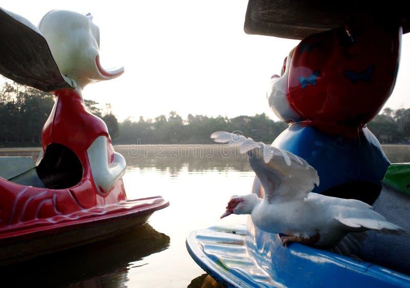 Pato branco que descansa no barco de pá plástico colorido fotografia de stock