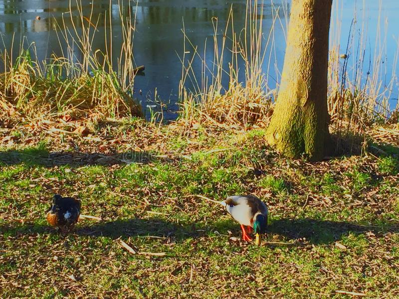 Pato cerca del agua foto de archivo libre de regalías