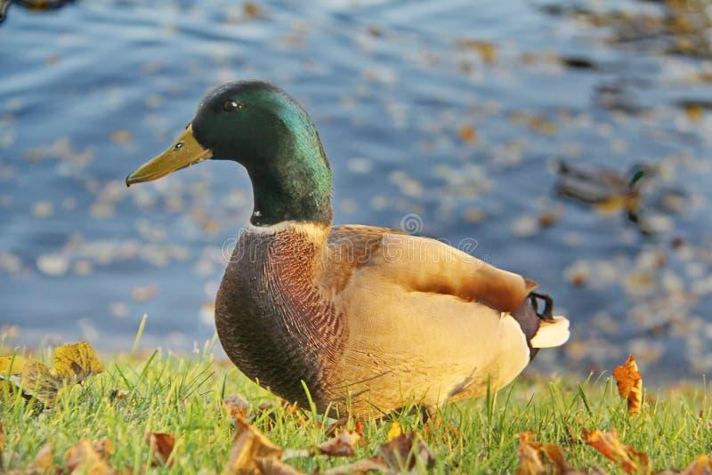 Pato cinzento curioso com cabeça verde imagens de stock royalty free
