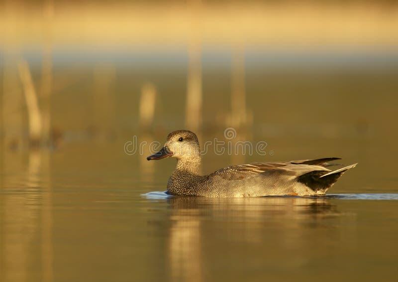 Pato cinzento do Norte da Europa (strepera) dos Anas - macho fotos de stock royalty free