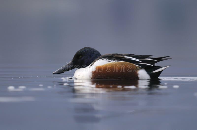 Pato-colhereiro do norte fotografia de stock