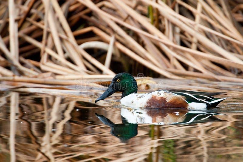 Pato-colhereiro do norte foto de stock royalty free