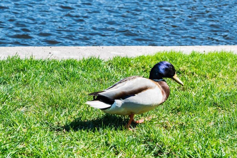Pato colorido na costa fotografia de stock