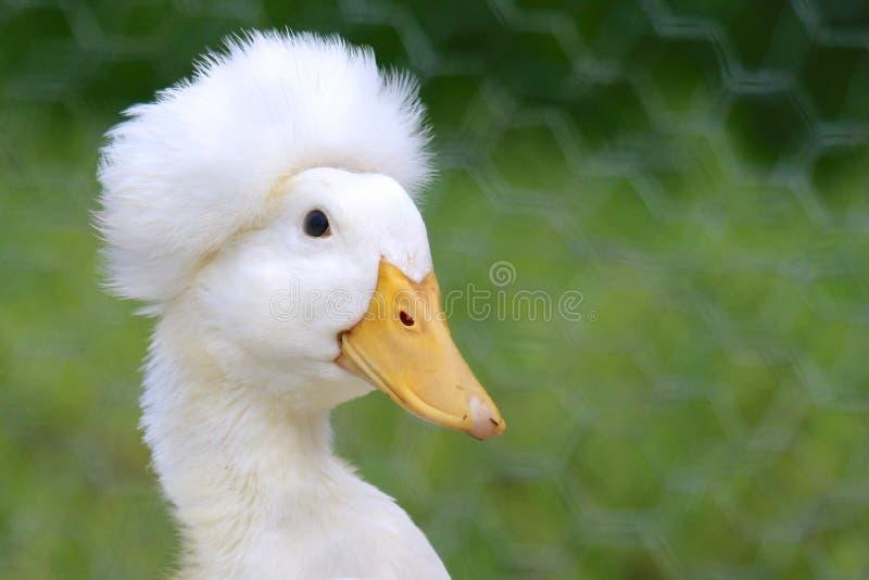 Pato com crista fotografia de stock