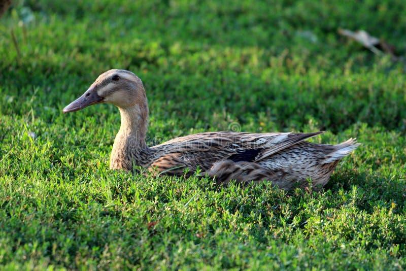 Pato con gris claro para ennegrecer las plumas que se sientan tranquilamente en la hierba verde suave que goza del sol caliente fotografía de archivo