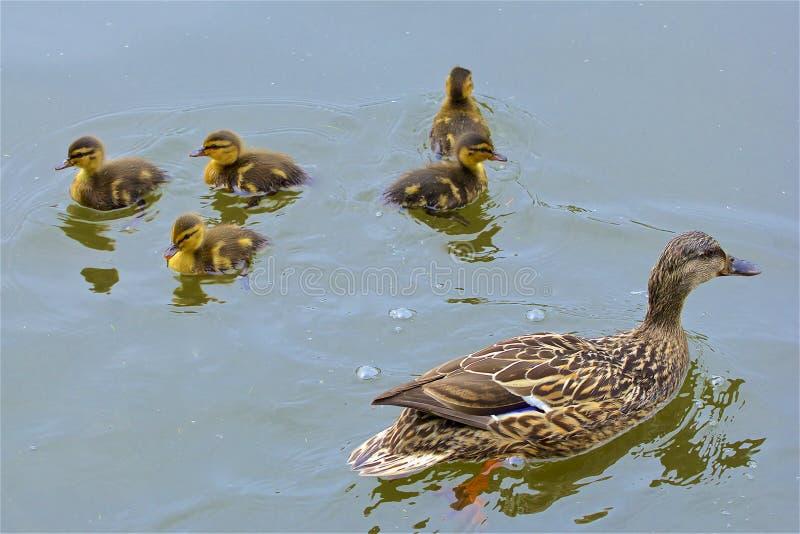 Pato con los bebés, Reino Unido fotos de archivo