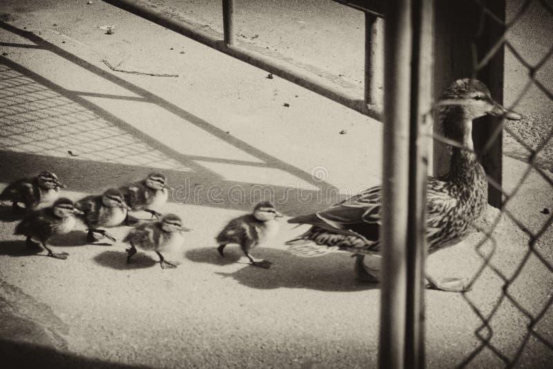 Pato con los pequeños anadones en la calle imagenes de archivo