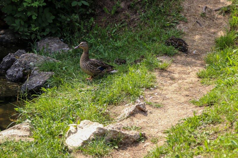 Pato con los pequeños anadones con sus recién nacidos de los niños Pato del cuidado maternal para sus anadones Naturaleza salvaje fotos de archivo