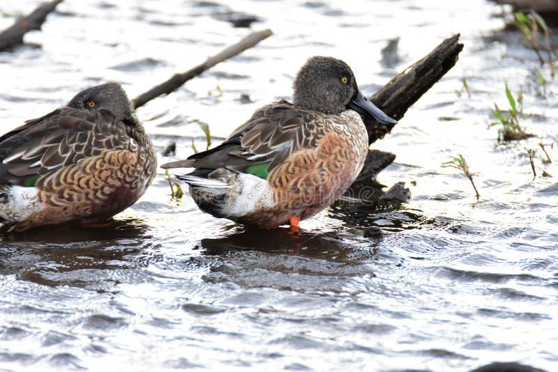 Pato cuchara septentrional en el lago fotografía de archivo