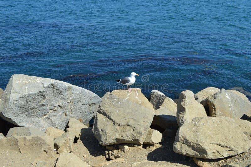 Pato da baía de Morro fotos de stock royalty free