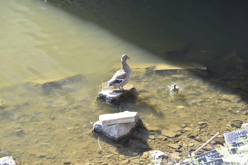 Pato da mãe com o patinho imagem de stock