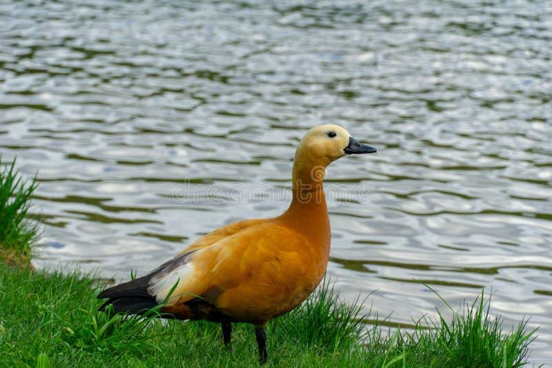 Pato-de-bico-ruddy Tadorna ferruginea Brahminy Pata ruddy caminhando fotos de stock