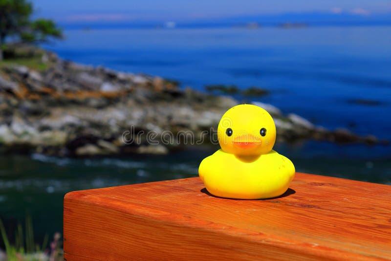 Pato de borracha amarelo no banco, parque nacional das ilhas do golfo, Saturna, Columbia Britânica fotografia de stock