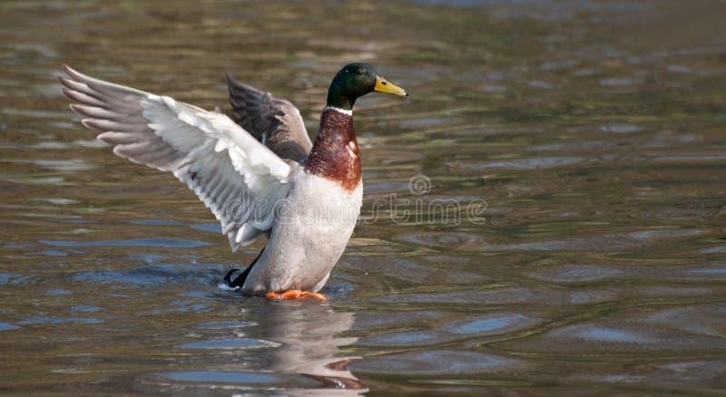 Pato de Brown foto de archivo