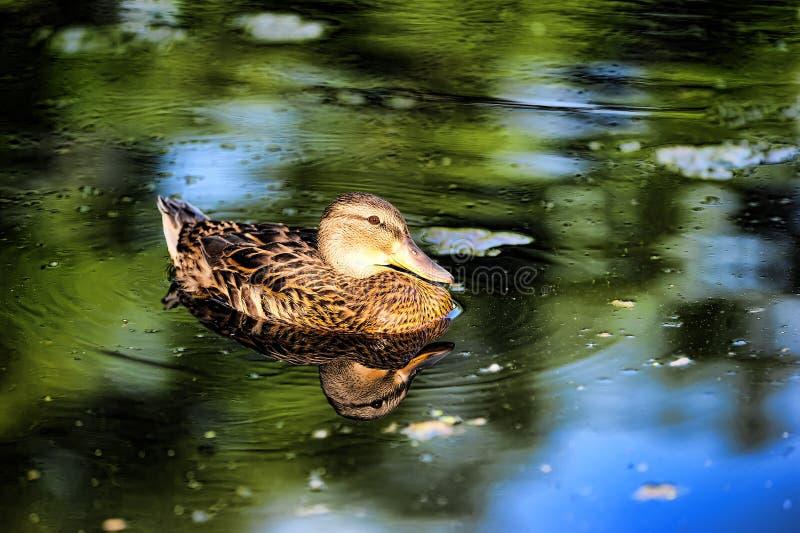 Pato de Brown em uma lagoa imagem de stock royalty free