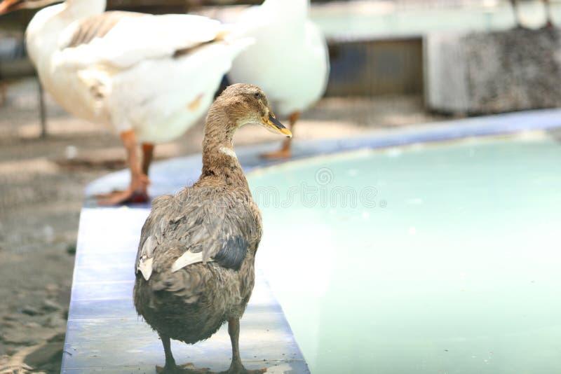 Pato de Brown en el parque zoológico imagenes de archivo