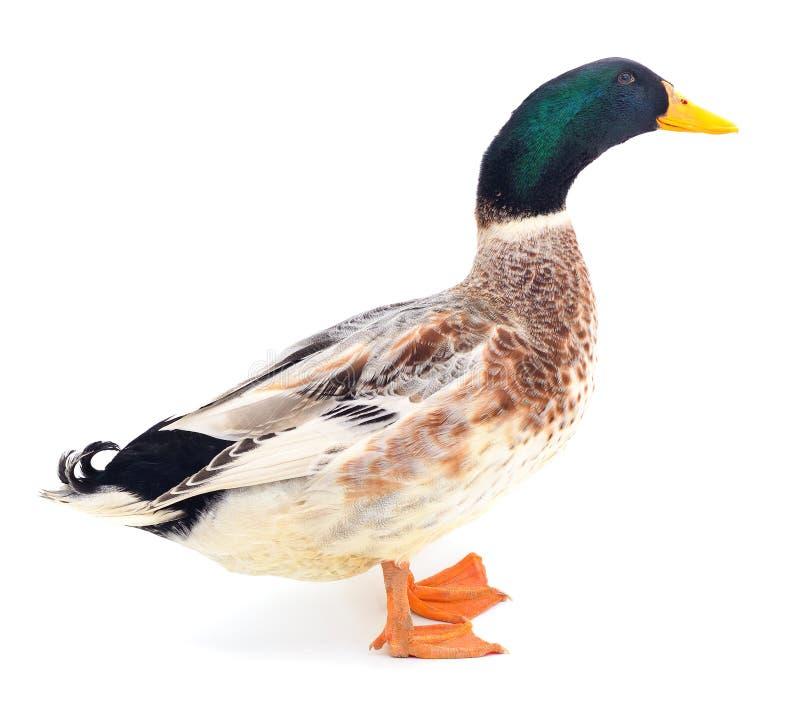 Pato de Brown no branco fotos de stock royalty free
