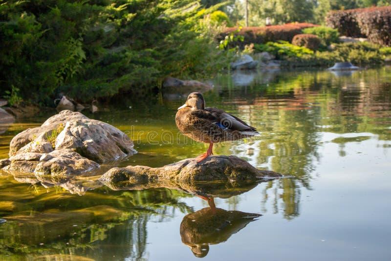 Pato de Brown que está na pedra na lagoa no parque do verão Conceito dos animais selvagens Pato e sua reflexão na água fotos de stock royalty free