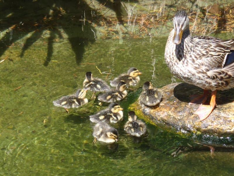 Pato de la madre con los anadones del bebé fotografía de archivo libre de regalías