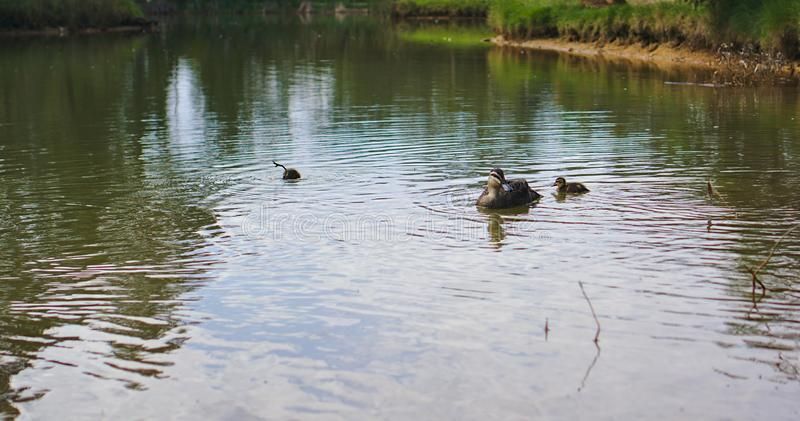 Pato de la madre con su anadón en el lago imágenes de archivo libres de regalías