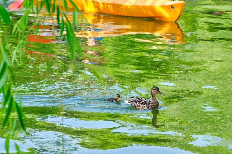 Pato de la madre con un solo, pequeño anadón detrás de él, seguido de cerca por un kajak, en un lago urbano imagen de archivo libre de regalías