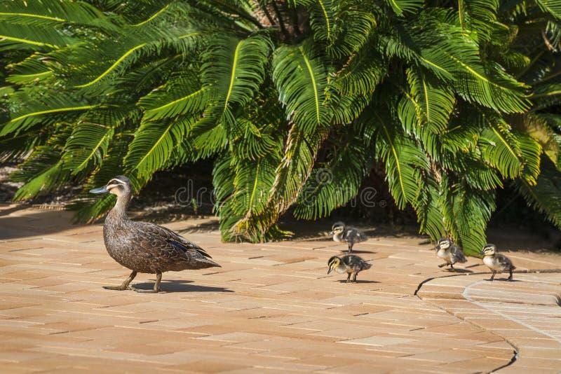 Pato de la madre que camina sus anadones foto de archivo