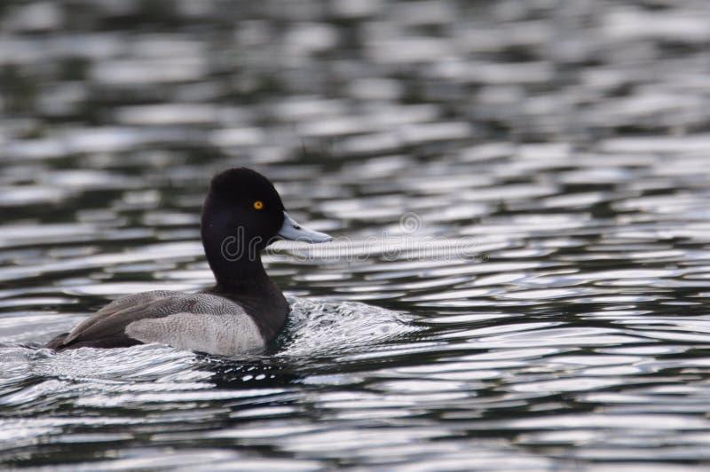 Pato de la natación fotografía de archivo libre de regalías