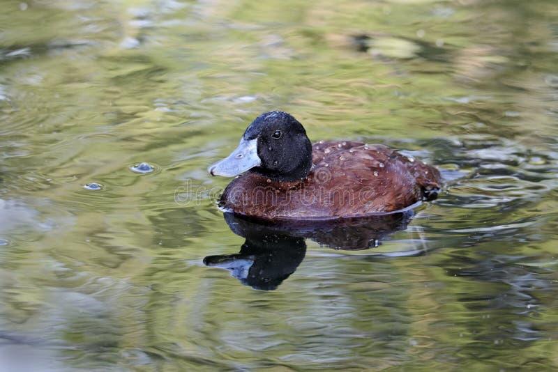 Pato de lago o Argentina Ruddy Duck imagen de archivo