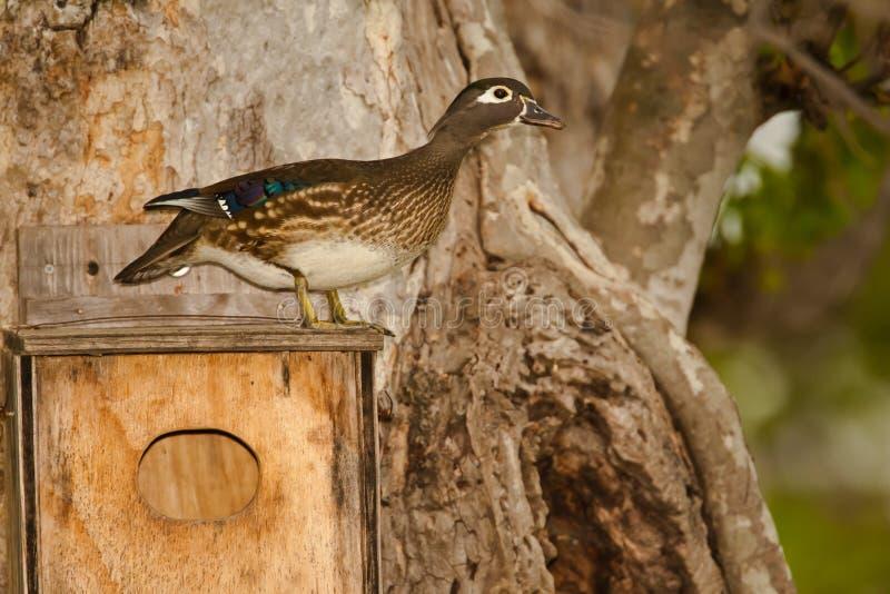 Pato de madeira fêmea imagens de stock