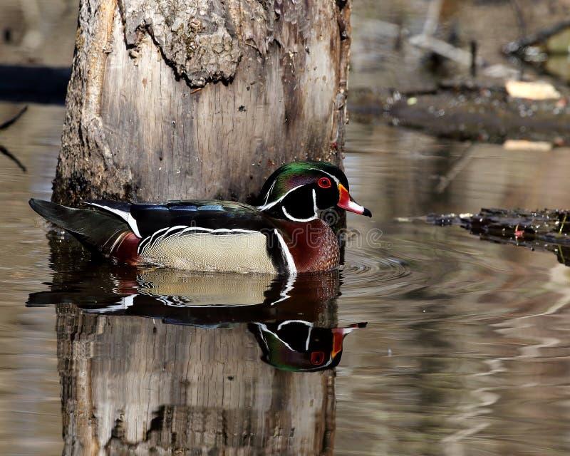Pato de madeira masculino bonito ao lado da árvore inundada fotos de stock royalty free