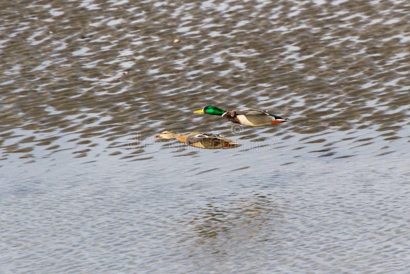 Pato de Mallard Voador foto de stock royalty free