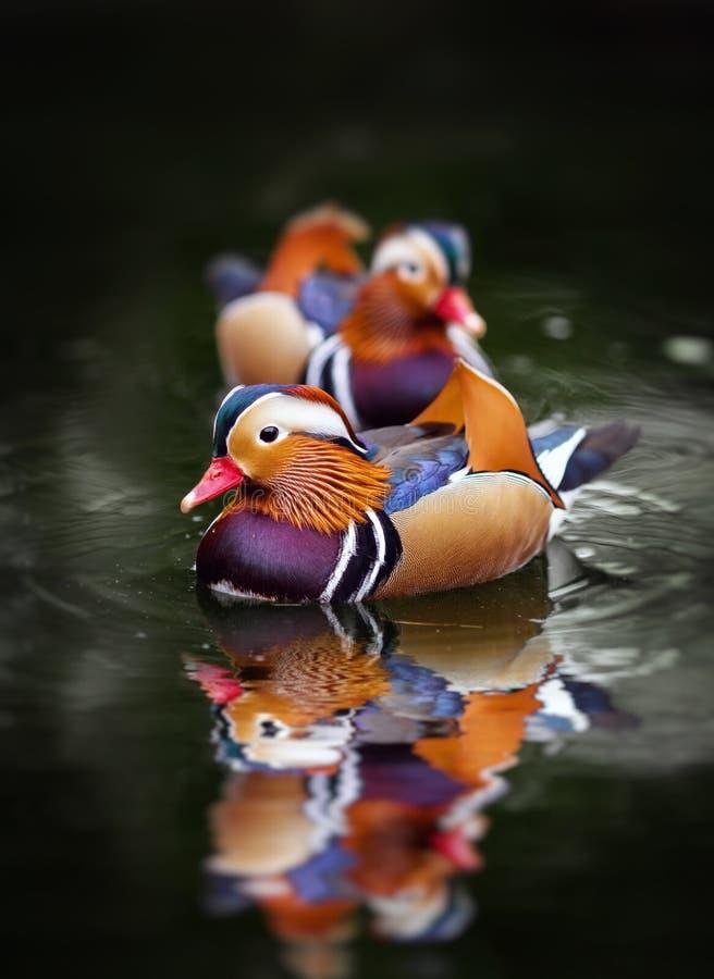 Pato de mandarín, galericulata del Aix, en el agua fotografía de archivo libre de regalías