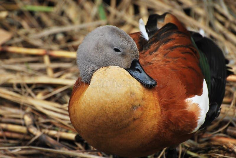 Pato de mandarino foto de stock royalty free