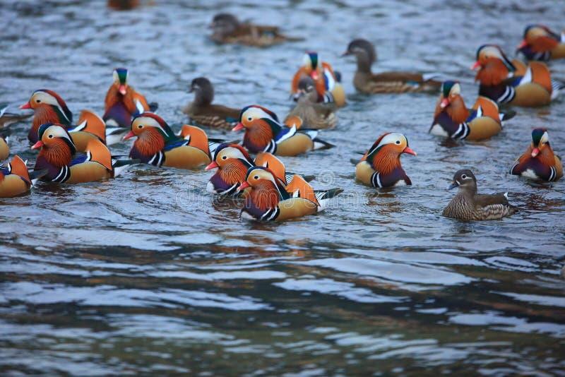 Download Pato de mandarino colorido foto de stock. Imagem de wildlife - 107529430