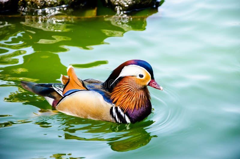Pato de mandarino colorido fotos de stock royalty free
