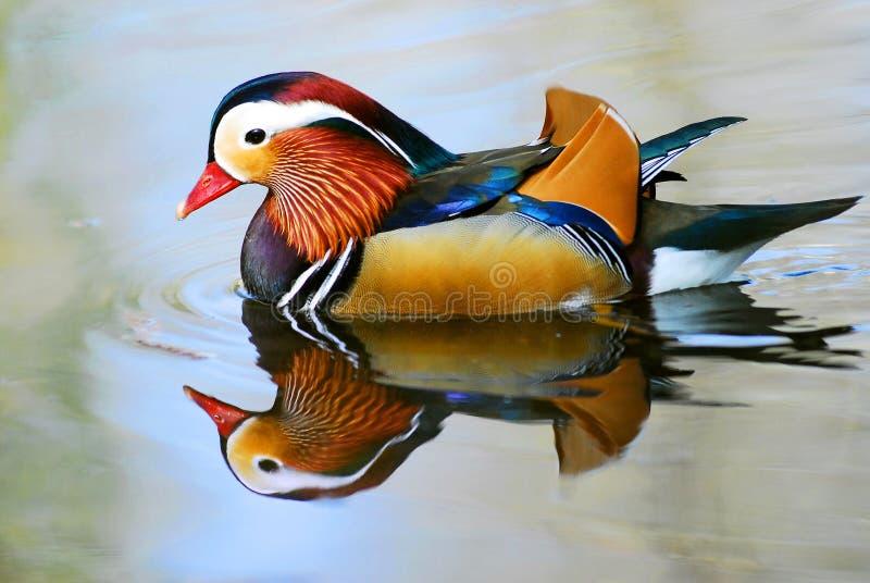 Pato de mandarino masculino na água imagens de stock royalty free
