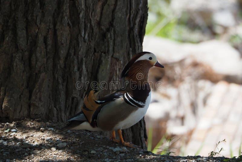 Pato de mandarino no perfil, rei dos lagos para sua grande cor, ao lado de um pinho no lago de Castell del Remei, Lerida fotos de stock royalty free