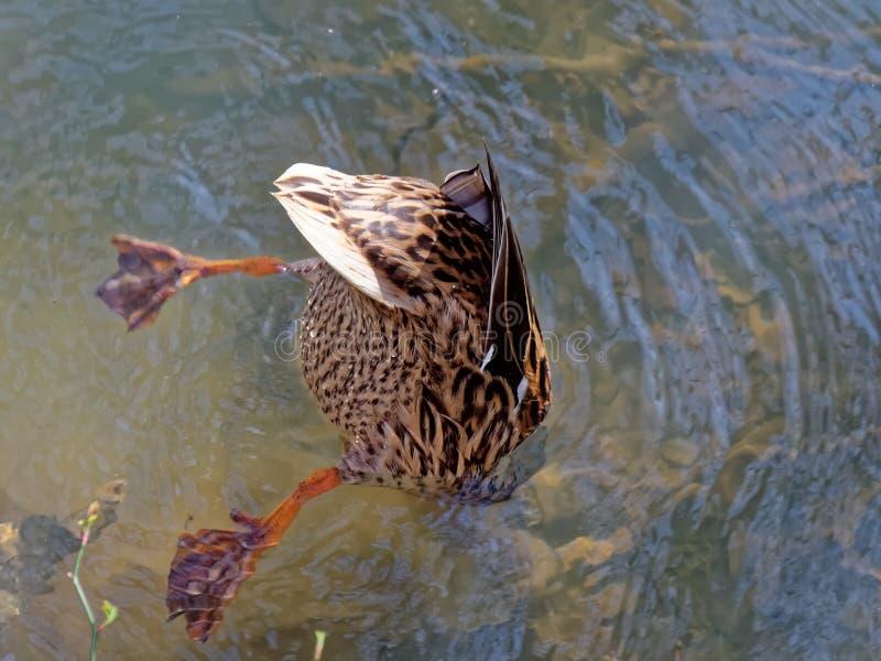 Pato de mergulho fotos de stock