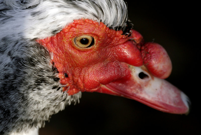 Pato de Muscovy imagem de stock