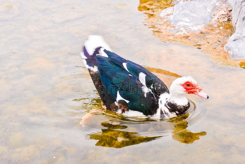Pato de Muskovy selvagem imagem de stock