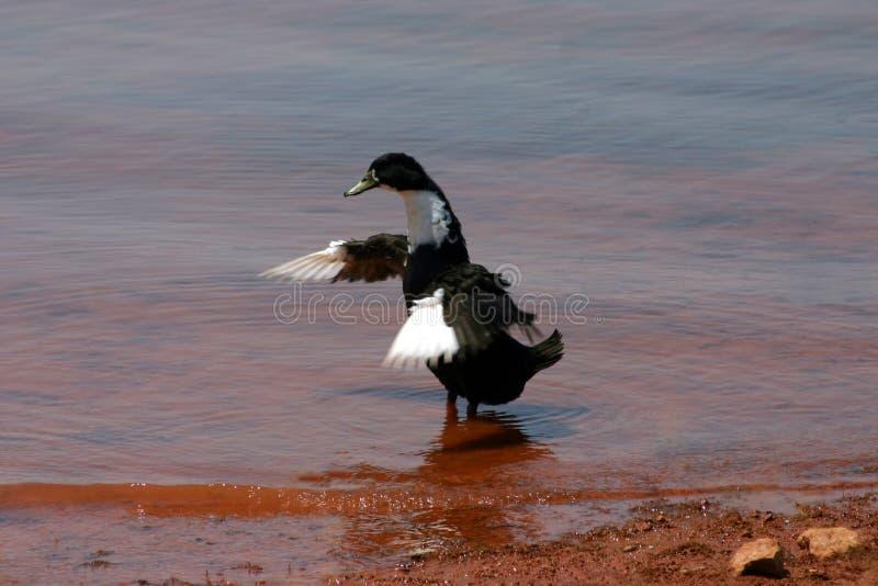 Pato del baile imagen de archivo
